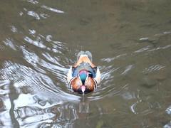 Something for me? (Phil Gayton) Tags: mandarin duck aixgalericulata colebrook leat totnes devon uk water