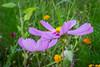 Blumenwiese (holgerreinert) Tags: 2016 august blumen wiese flower flowers