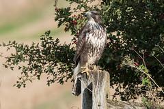 Buzzard Oct 2016 (422) (jgsnow) Tags: bird raptor buzzard ngc npc