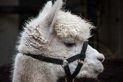 Alpaca (Maria Eklind) Tags: bosjkloster castle julmarkand animal slott alpaca hr bosjklosterslott december christmas sweden alpacka skneln sverige se