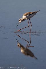 _MG_7384 LR flickr.jpg (Jean Louis BOUYER photographie) Tags: oiseaux échasse blanche échasseblanche