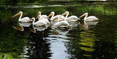 Always be together (BrigitteE1) Tags: alwaysbetogether vogel bird vgel birds pelikan pelican pelecanus rosapelikan rosypelican pelecanusonocrotalus zoo zoorostock deutschland germany specanimal