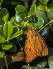 Karhusiilikäs (Diacrisia sannio) ♀, Clouded Buff (pohjoma) Tags: hyönteinen hyönteiset karhukehrääjä karhusiilikäs kehrääjä naaras perhonen siilikäs diacrisiasannio cloudedbuff butterfly moth canoneos7dmarkii canonef100400mmf4556lisiiusm finland