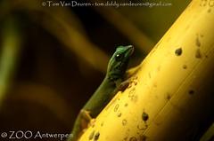 Azuurblauwe daggekko - Lygodactylus williamsi - Turquoise Dwarf Gecko (MrTDiddy) Tags: azuurblauwe daggekko lygodactylus williamsi turquoise dwarf gecko azuur blauw blauwe dag gekko reptiel reptile reptillian zoo antwerpen antwerp zooantwerpen