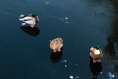 Winter Mating (Niels A) Tags: water autumn ducks winter import20161112 fall kastellet ice