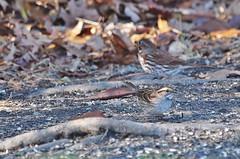 White-throated Sparrow & Fox Sparrow (Bill Bunn) Tags: whitethroatedsparrow foxsparrow westfalmouth maine