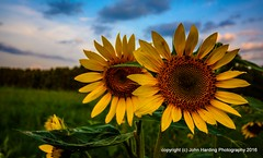 Siblings (T i s d a l e) Tags: tisdale siblings sunflowers vangogh farm field summer july 2016 easternnc