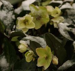Winter (Natali Antonovich) Tags: winter tervuren belgium belgie belgique nature christmas snow frost flowers