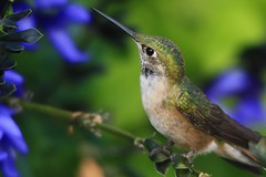 Broad-tailed Hummingbird (Kojo Baidoo) Tags: songbird colorado rockymountains rockies nature america broadtailedhummingbird summer