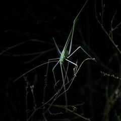 1610 Katydid near the Sutherland Trail (c.miles) Tags: catalinastatepark katydid santacatalinamountains sutherlandtrail
