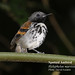 Spotted Antbird, Hylophylax naevioides