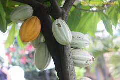 Cacau, Theobroma Cacao, San Salvador (ssspnnn) Tags: cacau cacao theobromacacao malvaceae chocolate snunes spnunes spereiranunes pereira canoneos70d elarco caféviveroelarco cocoa