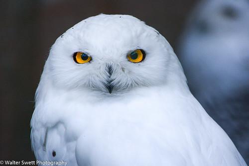 SnowOwls1