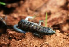 Who took my log? (TJ Gehling) Tags: reptile lizard anguidae alligatorlizard southernalligatorlizard elgaria elgariamulticarinata hillsidenaturalarea snowdonmeadow elcerrito