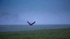 Frhes Jagen (S.T.A.R.S) Tags: jagen greifvogel falke bussard adler feld wiese sommer frh morgen dmmerung