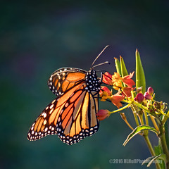 Monarch butterfly... (HLHullPhotography) Tags: butterflies insects monarch floweres milkweed