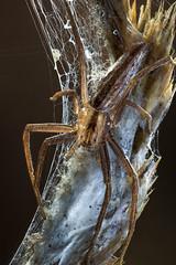 Backlit Tibellus (johnhallmen) Tags: arachnid spider arachnida macro philodromidae zerenestacker canon760d canonmpe65 canon270ex