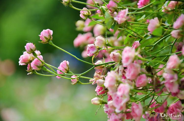 玫瑰園。迷你薰衣草09.jpg