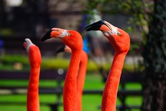 Line Up! ~EXPLORED~ (Reuben Degiorgio) Tags: bird neck four zoo three nikon long flamingo beak flamingos line nikkor d3100