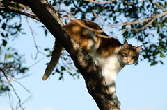 Up A Tree (C-Dals) Tags: sky tree cat nikon nikkor treed 70300mmf4556gvr d5100 tp225