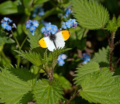 Orange tip (PHILIP.ISOM) Tags: butterfly wildlife westportlake sigma55200mm olympuse510