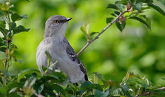 Mockingbird in the Cherry Tree_DSC3418 (DansPhotoArt) Tags: bird nature fauna garden backyard nikon wildlife aves mockingbird freshness passaros d7100