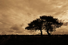 silhouettes of pines (John Herm1) Tags: sunset netherlands night evening silhouettes pines heath veluwe