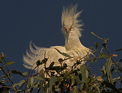 Showy Snowy (cetch1) Tags: heron nature birds wildlife birding breeding egret rookery snowyegret breedingplumage egrettathula breedingbehavior northerncaliforniawildlife ninthstreetrookery