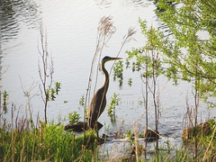 The herons are back (rkramer62) Tags: pond michigan greatblueheron grandville rkramer62 spring2013
