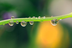 drops of spring (taniuniyana) Tags: flower macro cat canon eos spring drop   6d