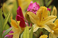 Yellow and Pink Abundance (alison's daily photo) Tags: pink flower yellow garden azalea