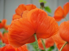 poppies 009 (cellocarrots) Tags: poppies