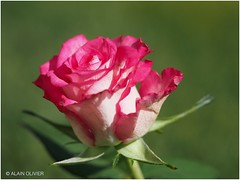 Rose du soir