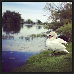 Found this guy hanging out near a pond. #swan #michigan #water #pond #lake (bryan elkus) Tags: square squareformat amaro iphoneography instagramapp uploaded:by=instagram