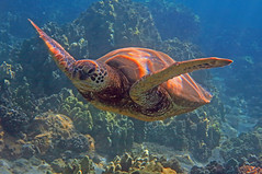 flight above the reef (bluewavechris) Tags: ocean life sea nature water animal coral swim canon hawaii marine underwater snorkel turtle reptile wildlife dive shell maui reef creature flipper freedive g1x