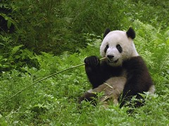 "Un panda • <a style=""font-size:0.8em;"" href=""http://www.flickr.com/photos/96142458@N04/8934087904/"" target=""_blank"">View on Flickr</a>"