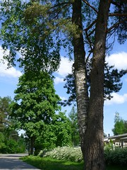 Birch and pine growing together (EilaKaarina) Tags: pine koivu birch valkeala kouvola mnty