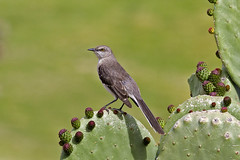 IMG_1644b (willi377) Tags: northern mockingbird