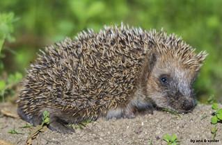 Ouriço-cacheiro, European Hedgehog (Erinaceus europaeus) - em Liberdade [WildLife]
