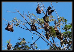 Flying Foxes Redcliffe Botanical Gardens-1= (Sheba_Also) Tags: gardens botanical flying redcliffe foxes