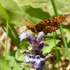 Small pearl-bordered fritillary on bugle (LPJC (not allowed to change name!)) Tags: uk butterfly worcestershire fritillary wyreforest lpjc smallpearlbordered