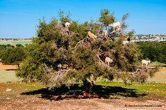 Goats on Argan tree eating fruits near Essaouira, Morocco (achel cabonell) Tags: africa street city travel urban tree green animal landscape outdoors eating streetphotography goat nopeople viajes morocco maroc oil marrakech marruecos essaouira moroccan travelphotography argan colorimage documentaryphotography fotografiadocumental argantree moroccanculture fotografiadeviajes rachelcarbonell moroccantraditions