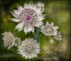 Posies (Explored) (pollylew) Tags: flower texture garden astrantiamajor gardenflower