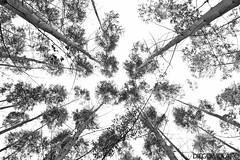 (DiegoMolano) Tags: santa wood trees bw tree blancoynegro forest de arbol madera nikon arboles rosa bosque bnw contrapicado cabal cruzadas santarosadecabal cruzadasgold d3100 diegomolano cruzadasi