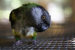 Curiosity (ktruluck) Tags: green bird yellow grey florida gray parrot cage perch peek fl senegal curious curiosity avian peer nipper feathered bushnell