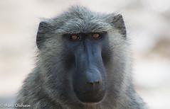Baboon (Hans Olofsson) Tags: africa afrika baboon murchinsonsfall natur nature papioanubis uganda ecotourism babian