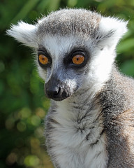 Ring Tailed Lemur (Buggers1962) Tags: portrait nature face animal closeup canon mammal zoo close bokeh wildlife lemur madagascar colchester colchesterzoo ringtailedlemur lemurcatta greatphotographers itsazoooutthere canon7d highqualityanimals