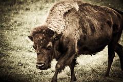 Roaming Bison (Ben Aerssen) Tags: brown grass hair legs horns ears pasture bison snout hooves