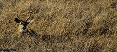 The Buck Stops Here Along The Petaluma-Marshall Road (Dunby PICS) Tags: road county town sonoma doe marshall deer fawn petaluma buck specanimal