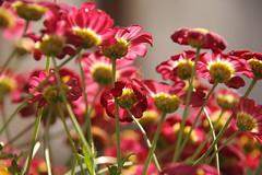 Farbe fr die Seele (im_fluss) Tags: flowers autumn red fall balcony balkon herbst blumen chrysanthemum hummel marguerites rotemargeriten